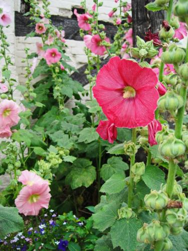 Hollyhocks at The Fleece Bretforton1